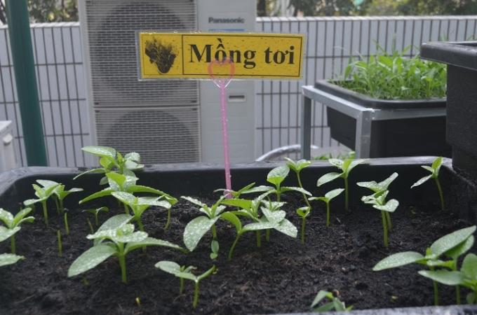 Nhà trường giao cho các em học sinh các lớp tự quản những vựa rau do mình trồng.
