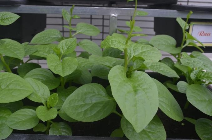 Vườn rau được trồng ở tầng 3 của khuôn viên sân thượng nhà trường.