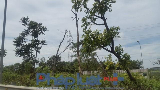 Sau bão nhiều người cũng bất ngờ phát hiện nhiều cây gỗ lát trồng tại đây đã chết không không biết từ khi nào.