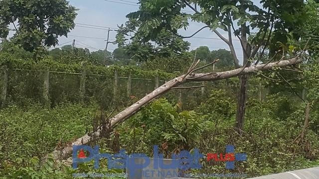 Một cây xanh bật gốc chưa được xử lý.