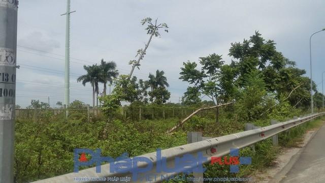 Cây nằm nghiêng ngả dọc tuyến đường. Dọc tuyến cao tốc số lượng cây gỗ lát hoa bị đổ, gãy lên tới hàng trăm cây.