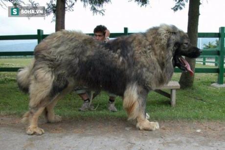 Một con chó chăn cừu Caucasian trung bình!