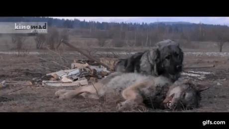 Nhẹ nhàng nghỉ ngơi sau khi hạ gục con sói định tấn công đàn cừu.