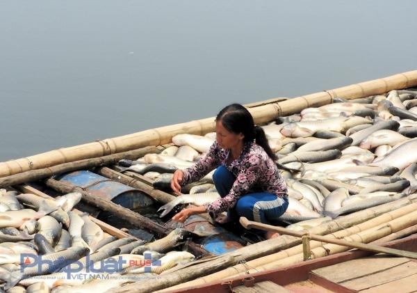 Cá chết do ô nhiễm quá nặng, đã được chính quyền tiêu hủy. (Ảnh: A.Thắng)