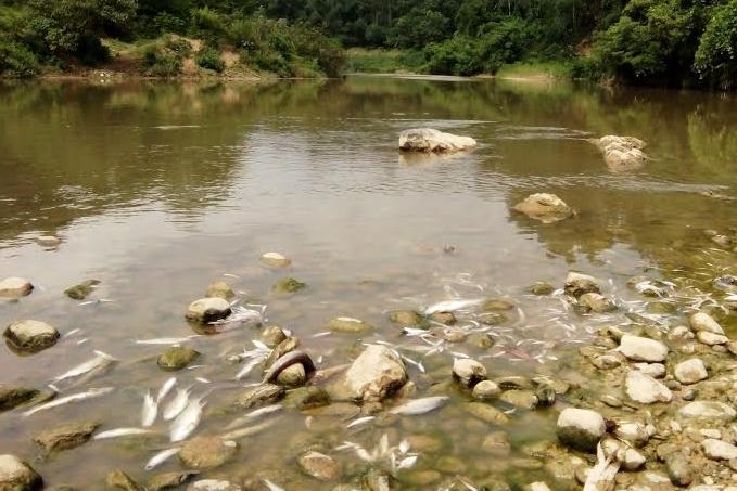 Đây là lần thứ 3 cá sông Âm chế bất thường, đặt ra nghi vấn tiếp tục do ô nhiễm nguồn nước. (Ảnh: A.Thắng)