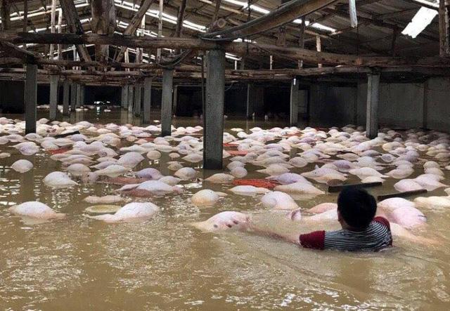 Mặc dù chính quyền và người dân nỗ lực ứng cứu, do nước lũ quá lớn, chỉ cứu được 100 con