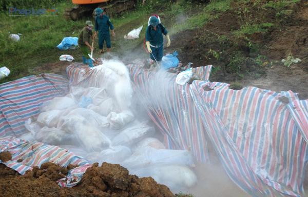 Phun thuốc khử trung trước khi tiêu hủy, tránh lân lan dịch bệnh.
