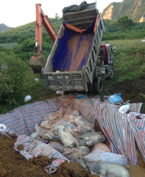 Do nước lũ chưa rút hết, việc tiêu hủy lợn sẽ phải kéo dài sang những ngày tiếp theo.