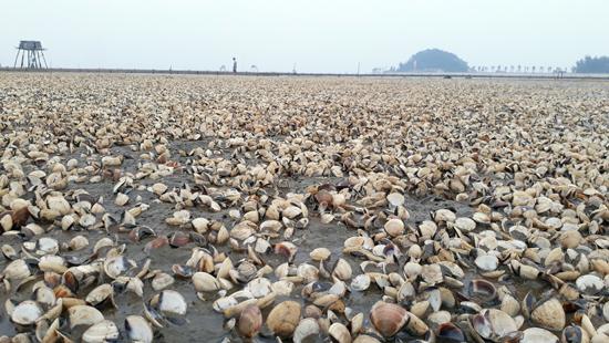 Lượng ngao chết bất thường tại Hải Lộc, Hoằng Trường nặng nề nhất trong nhiều năm qua.