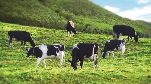 Theo các chuyên gia, chăn nuôi bò sữa là lĩnh vực cần bảo hiểm nông nghiệp bắt buộc.