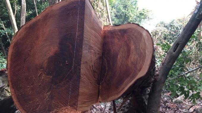 Cây gỗ nghiến có đường kính gần 1m bị lâm tặc đốn hạ ngay trong Vườn quốc gia Ba Bể.