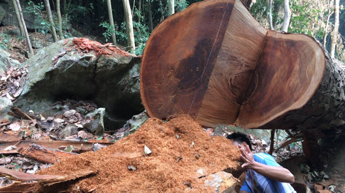 Tình trạng lâm tặc tàn phá gỗ nghiến trong Vườn quốc gia Ba Bể vẫn diễn ra công khai.