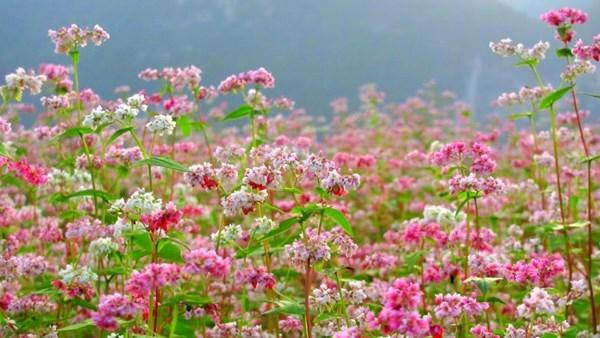 Lúc mới nở hoa có màu trắng, sau đó phớt hồng rồi chuyển sang đỏ đậm.