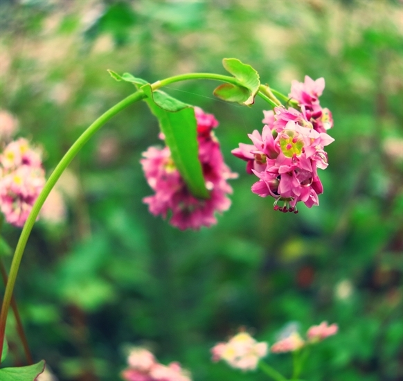 Loài hoa đẹp hoang dại, không hương sắc, sớm nở và chóng tàn.