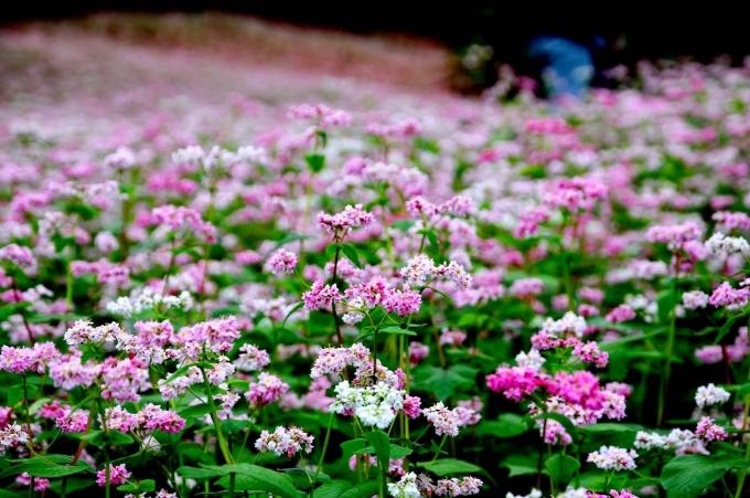 BTC đem một lượng hoa nhất định về Hà Nội để giới thiệu. Tam giác mạch trồng trong bồn, dựng thành tiểu cảnh để người tham quan chụp ảnh.Ảnh: minh họa.