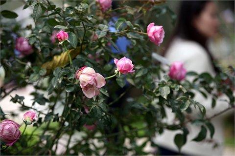 Hoa hồng tại Lễ hội Hoa hồng Bulgari và bạn bè (Ảnh: VietNamNet)