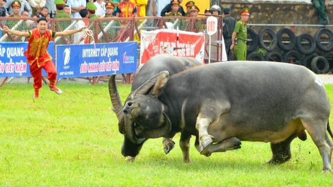 Lễ hội trọi trâu Đồ Sơn (Nguồn ảnh: thethaovanhoa.vn)