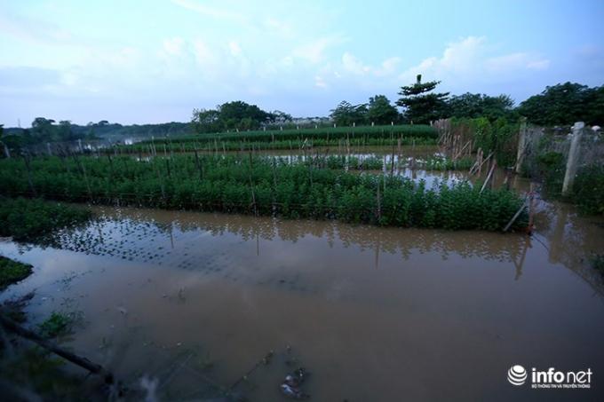 Việc nước dâng cao đã khiến vườn cúc hoạ mi rộng gần chục héc-ta của bác Lan bị mất trắng.