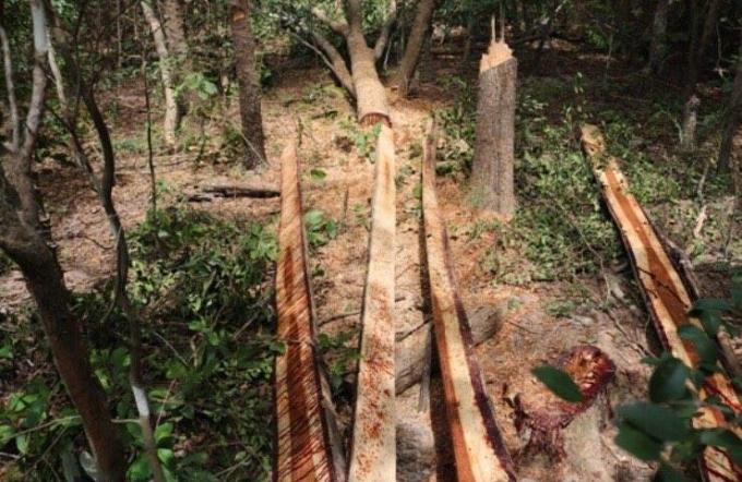 Hiện trường vụ việc khai thác gỗ trái phép tại Đắk Lắk.