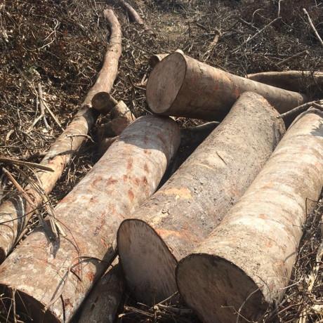 Lợi dụng cải tạo rừng nghèo kiệt để khai thác gỗ lớn, có hay không?!