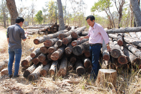 Cây rừng Ea Súp bị đốn hạ, rừng xâm hại rất nghiêm trọng.