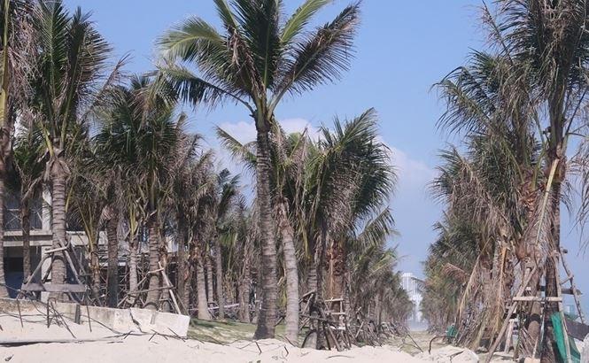 Trên phần diện tích lấn chiếm, các hàng dừa vẫn chưa được di dời. Ảnh Nguyễn Thành