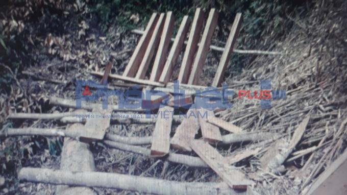 Gỗ đã được xẻ đợi người mang ra bán.Nhưng một điều đáng ngạc nhiên đó là. Trong nhiều ngày đi rừng, xâm nhập nơi lâm tặc hoạt động, cắt, xẻ gỗ, vận chuyển đến nơi bán, tập kết gỗ nhưng lại không thấy bóng dáng của lực lượng chức năng huyện Văn Chấn.