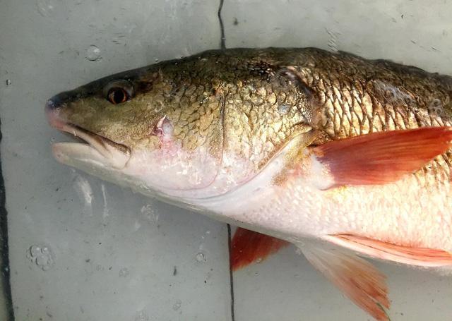 Cận cảnh lớp vảy vàng óng của con cá