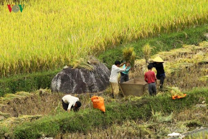 Một số khác vẫn thu hoạch theo cách truyền thống là đập lúa tại ruộng.