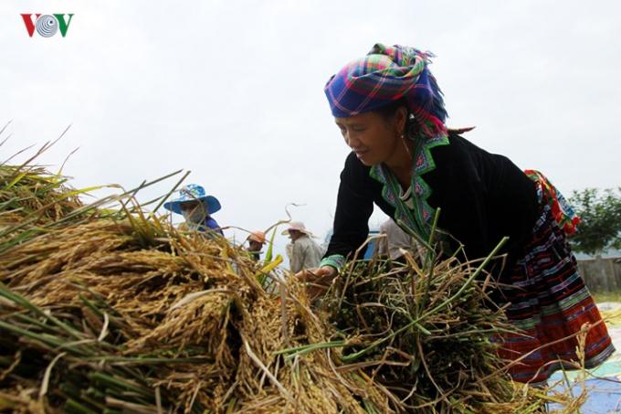 Không chỉ trồng cấy các giống lúa mới năng suất cao, ngày nay bà con đã trồng tập trung nhiều giống lúa truyền thống, hiệu quả kinh tế cao.