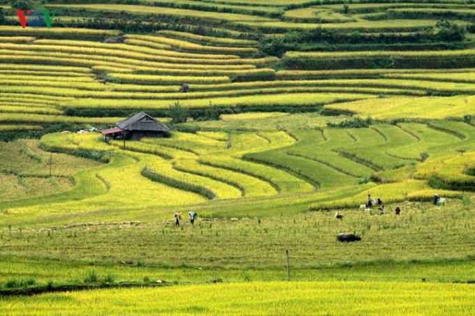 Mùa vàng ở Lai Châu bắt vào cuối tháng 7, đầu tháng 8 âm lịch hàng năm.
