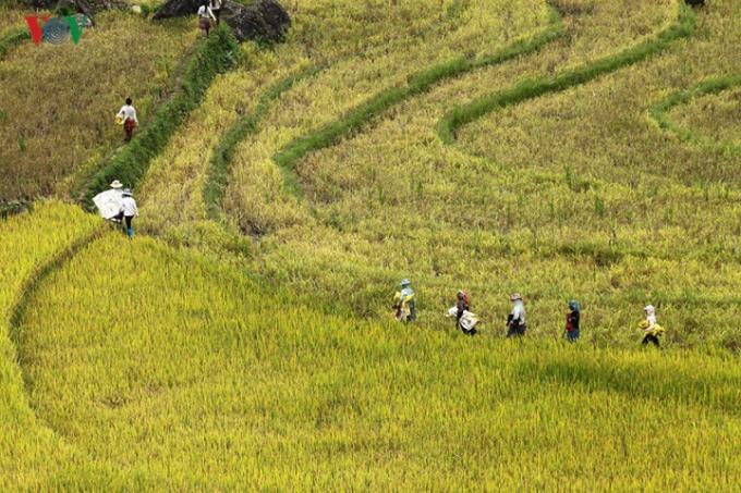 Khách du lịch về đây không chỉ thưởng ngoạn những thửa ruộng bậc thang, mà còn hòa mình vào không khí ngày mùa khi tham gia trực tiếp vào các công đoạn thu hoạch.