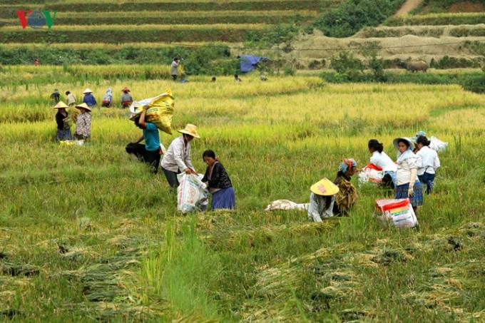 Vào những dịp này, người dân địa phương hối hả, bận rộng với việc thu hoạch lúa mùa.