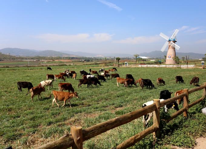 Những cô bò organic được thoải mái gặm cỏ trên đồng cỏ tại Trang trại Vinamilk Organic Đà Lạt