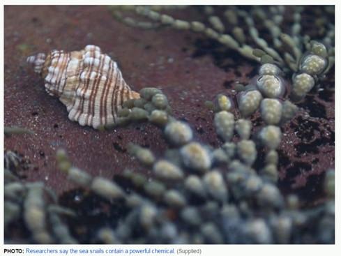 Sên biển sẽ có khả năng diệt tế bào ung thư cực mạnh. (Ảnh chụp màn hình ABC News)