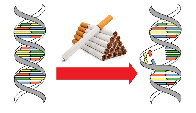 Trung bình, cứ 15 điếu thuốc sẽ gây ra 1 đột biến