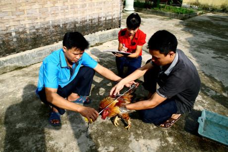 Cán bộ vườn Quốc gia Xuân Sơn tiến hành nghiên cứu, bảo tồn giống gà 9 cựa. Ảnh: T.L