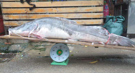 Cá lăng nặng 102kg đưa về Hà Nội.