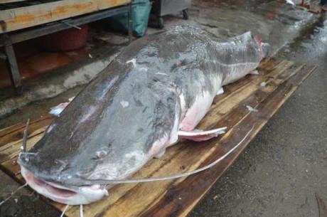 Cá lăng có chiều dài 2,2.