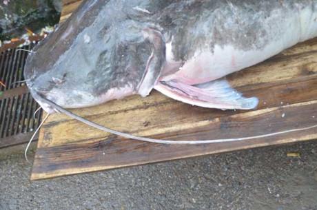 Râu của cá lăng có chiều dài 80cm.