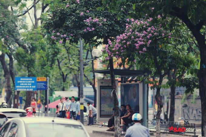 Hoa bằng lăng có màu tím hoặc tím nhạt, tím hồng và thường mọc thành chùm.