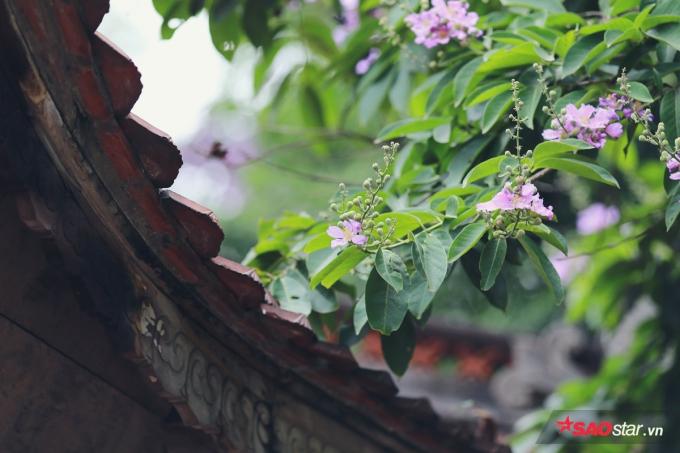 Sắc hoa mang nét hoài cổ khi phủ lên những căn biệt thự cổ, nhà mái ngói hoặc nóc đình chùa…