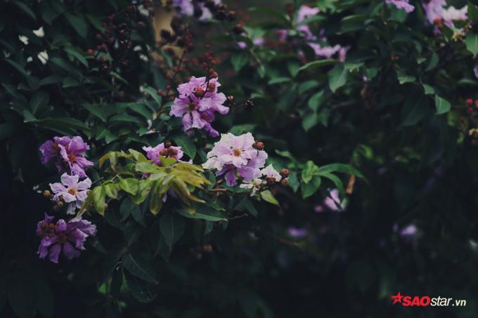 Cây bằng lăng được trồng trên rất nhiều tuyến phố của Hà Nội như: Trần Thái Tông, Nguyễn Chí Thanh, Huỳnh Thúc Kháng, Trần Duy Hưng, Kim Mã… Bên những con đường nhỏ lặng yên, bằng lăng tím khiến con đường vốn đã thơ mộng, giờ lại càng trở nên lãng mạn hơn.