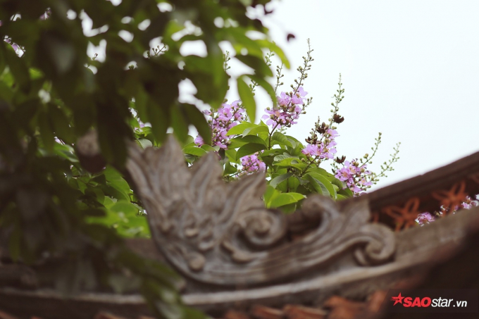 Hoa nở trên mái nhà ở Văn Miếu Quốc Tử Giám.