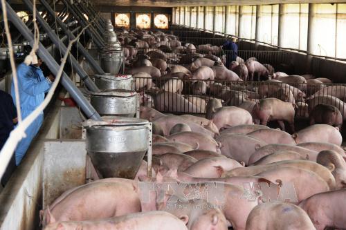 Tiền Giang đang áp dụng khoa học kỹ thuật chăn nuôi theo hướng an toàn. Ảnh: Lê Đức Hoảnh/TTXVN