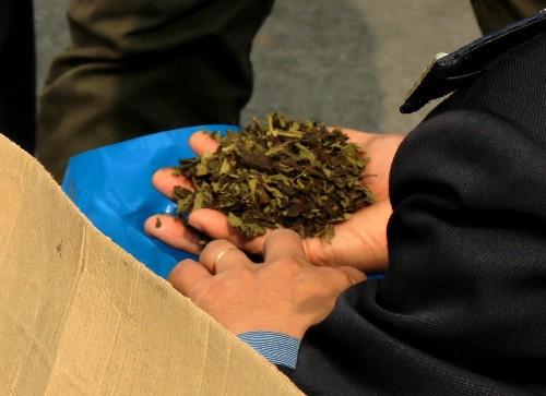 Lá khát được phơi khô, thái nhỏ đóng trong các túi nilon màu xanh. Ảnh:Giang Chinh