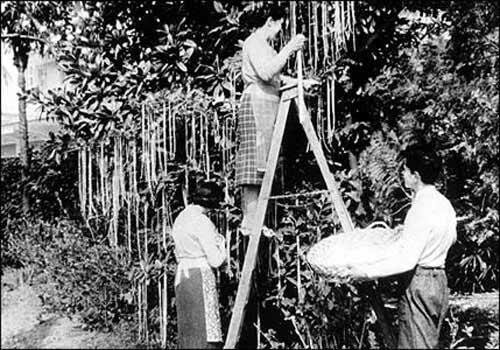 Hình ảnh những người nông dân thu hoạch mỳ trên cây được