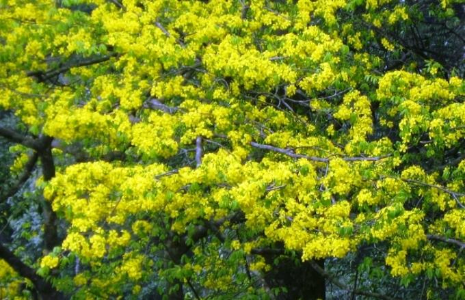Hoa mai vàng Yên Tử rực rỡ khoe sắc tại