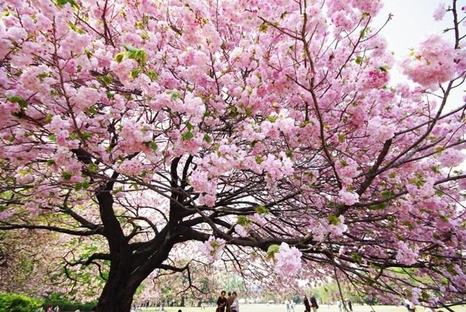 Hoa anh đào Nhật Bản rực hồng khoe sắc trên mảnh đất Hạ Long.