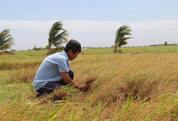Nhiều diện tích lúa Đông Xuân của người dân Đồng bằng sông Cửu Long bị chết héo do nhiễm mặn.